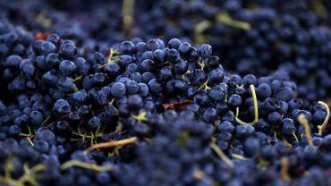 Avec le céleri, le raisin fait partie des aliments ayant le plus de résidus de pesticides selon une association écologiste française.