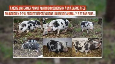 Un fermier abat 80 cochons et en sauve 6, que sont-ils devenus ?