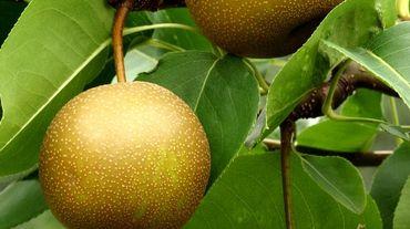 Les poires asiatiques peuvent diminuer le taux de cholestérol et aussi celui d'alcoolémie.