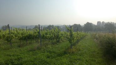 Au total, 6 hectares de vignes en bonne santé