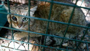 """Un """"chat-renard"""" capturé dans la forêt d'Asco"""