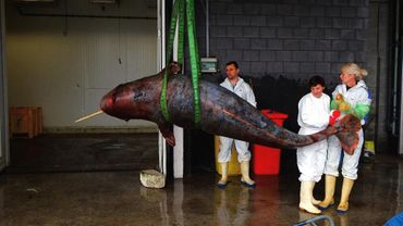 Le narval pesait 150kg de moins que le poids normal d'un tel animal
