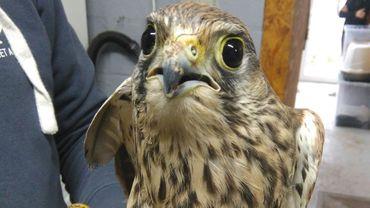 un jeune faucon crécerelle bientôt prêt à être relâché...