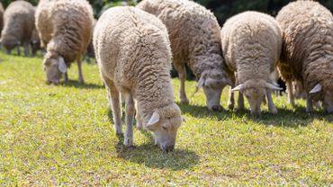 Le logiciel décèle les yeux mi-clos, les joues creusées, les oreilles repliées, les lèvres étirées, ou les narines déformées, autant d'expressions de la douleur chez le mouton.