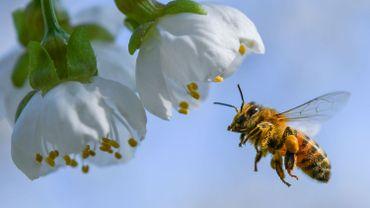 Pour ou contre l'interdiction des néonicotinoïdes, nocifs pour les abeilles mais indispensables à certaines cultures?