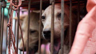 Chiens en cage au festival de Yulin