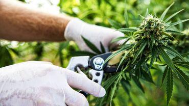 Une étude montre que la combinaison cannabis-opiacés est associée à des taux élevés d'anxiété.