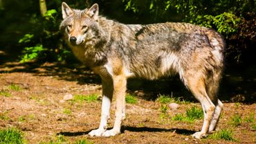 C'est la première fois qu'un loup est prélevé dans ce département, précise la préfecture, confirmant une information du Dauphine Libéré.