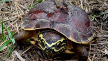 La nouvelle espèce de tortue, dite mangeuse d'escargot.