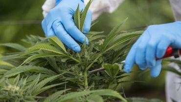 Le cannabis, matière première dans la fabrication de l'Epidyolex, médicament utilisé dans des formes rares de l'épilepsie