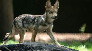 """La présence dans les Pyrénées-Atlantiques d'un """"animal hybride entre un loup d'origine italo-alpine et un chien"""" a été prouvée par des analyses ADN"""