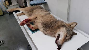 Le loup renversé à Opoeteren provenait d'Europe centrale