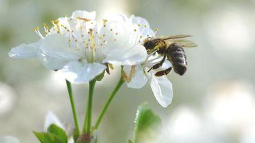 On constate en effet que les abeilles sont plus nombreuses en ville. De là à dire qu'il y en a trop…