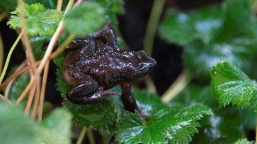 Trois espèces d'amphibiens d'Amérique centrale ont disparu et de nombreuses autres pourraient s'éteindre bientôt, victimes d'un champignon mortel dont l'expansion est favorisée par le changement climatique.