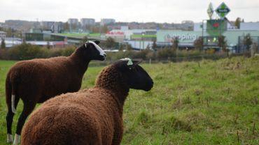Belgodyssée : le quatrième duo vous fait découvrir les élevages urbains de moutons