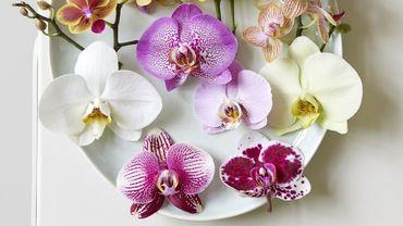 Plante d'intérieur du mois : le phalaenopsis