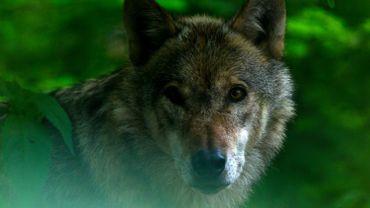 Un loup dans un parc en Allemagne