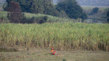 Une femme au milieu d'une plantation de canne à sucre dans la périphérie d'Ayodhya, au nord de l'Etat d'Uttar Pradesh (Inde), le 6 décembre 2018.