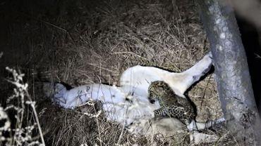 Le bébé léopard et sa maman adoptive