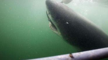 Un grand requin blanc le 30 mars 2010 dans les eaux sud-africaines