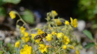 Les abeilles qui colonisent une seule plante risquent de disparaître.