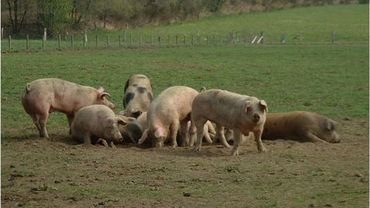 Les éleveurs gaumais reprennent du service après la peste porcine