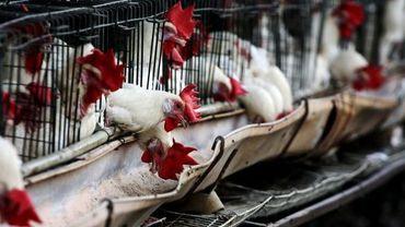 Une épidémie de grippe aviaire a été enrayée