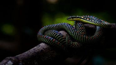 Certains serpents volent mais comment font-ils ?