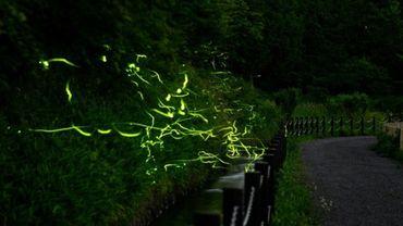 Les lucioles du parc Tatsuno Hotarudoyo, dans la préfecture de Nagano, prises en photo avec une exposition lente, le 16 juin 2020.