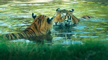 Un tigre tue une potentielle compagne juste après leur rencontre au zoo à Londres