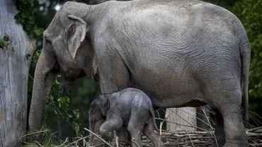 L'éléphante Kai-Mook est enceinte, annonce Planckendael
