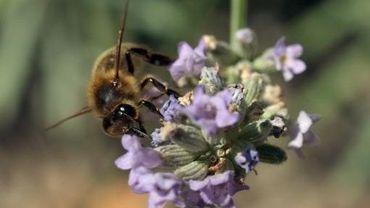 Une abeille butine des fleurs de lavande