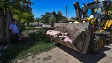 Cadavre de porcs dans le sud de la Roumanie