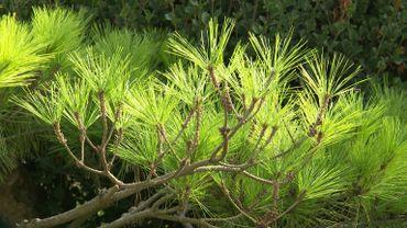Amour de plantes : Pinus densiflora 'Umbraculifera'