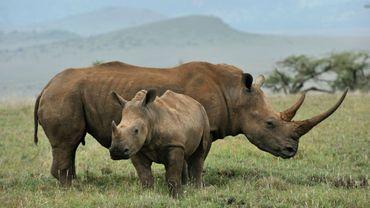 17 rhinocéros noirs sud-africains envoyés au Malawi.