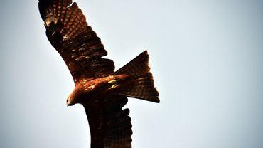 L'Australie en proie à des oiseaux pyromanes