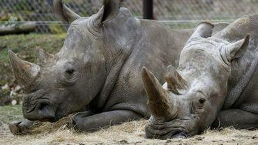 Bruno (G) et Gracie, les deux rhinocéros restant au zoo de Thoiry, le 8 mars 2017, au lendemain de la mort de leur comparse Vince, 4 ans, abattu de trois balles dans la tête, la corne principale sciée et volée