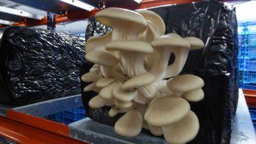 Strée -Le recyclage qui produit des champignons