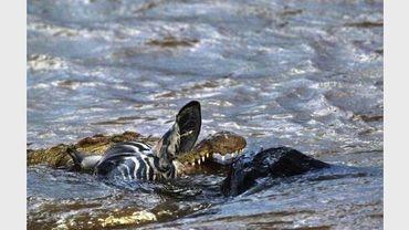 Un crocodile vient d'attraper un zèbre qu'il chassait, le 7 août 2003 dans la réserve de Masai-Mara