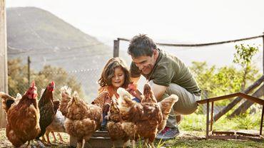 Confinement : les poules, nouvelle passion des confinés à la campagne.