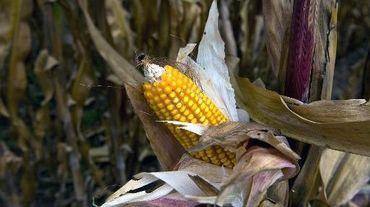 Un épi de maïs