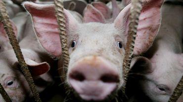 Peste porcine : 13 pays suspendent maintenant au moins partiellement leurs importations de porc belge