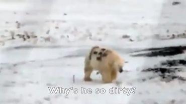 Arctique: un ours blanc peinturluré alarme les scientifiques, une oeuvre de blagueurs?