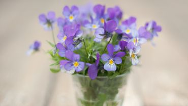Pansies flowers in a vase, still life.