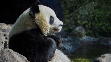 Young male panda Huan-Meng sits in the water inside its external enclosure at The Beauval Zoo in Saint-Aignan-sur-Cher, central France