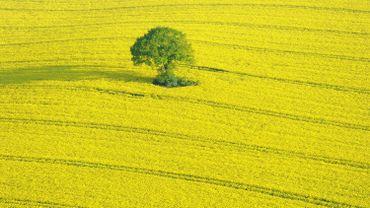 Un champ de colza en Allemagne