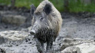 Un manque à gagner pour Virton, en raison des mesures prises contre la peste porcine
