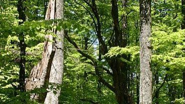 Nera, forêt de hêtres