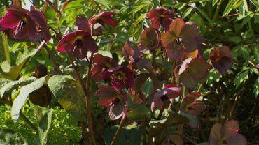 Cet hellébore qui fleurit de janvier à fin avril est un hybride créé in vitro par le britannique Rodney Davey