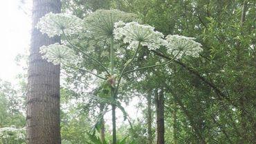 Des plantes majestueuses, dont il faut se méfier
